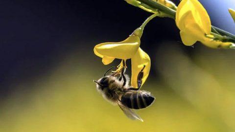 api impollinatrici